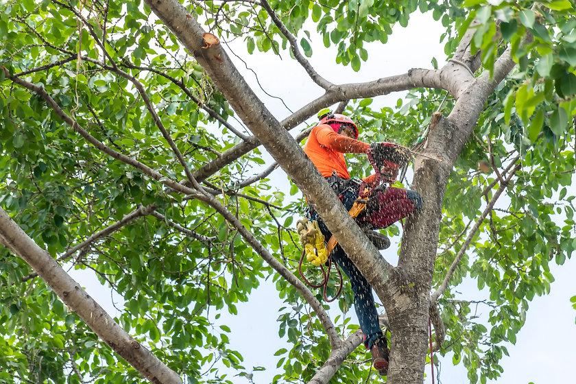 The worker on giant tree.jpg