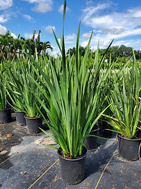 African Iris.jpg