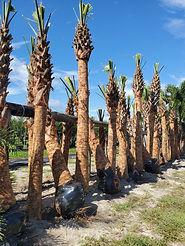 Sabal Palm.jpg