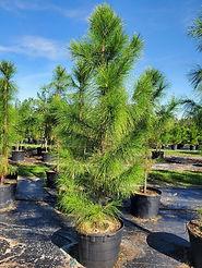 Slash Pine 30g.jpg