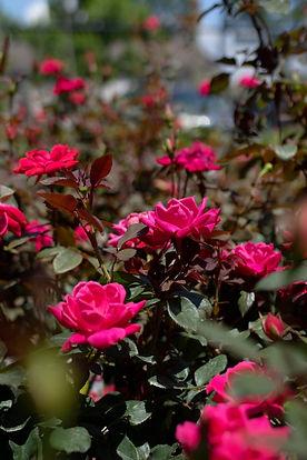 Drift Rose_3.jpg