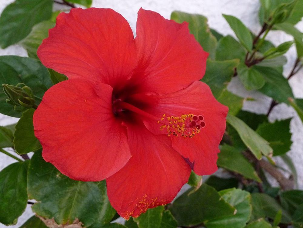 kraftblume_Hibiscus_rosa-sinensis_Bot.Garten_Muenster.jpg