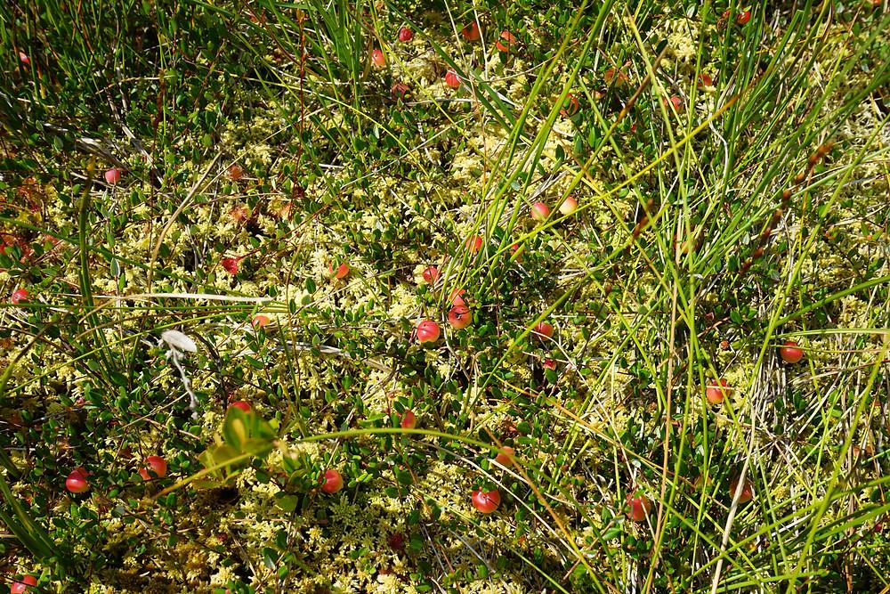 bog cranberries
