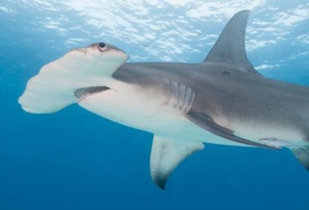 The Great Hammerhead