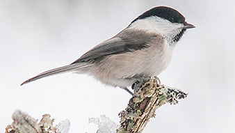 SBS-Willow-Tit-FF.jpg