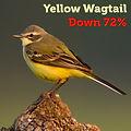 Yellow Wagtail 72.jpg