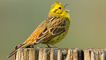 SBS-Yellowhammer-FF.jpg
