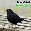 Blackbird 15.jpg