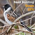 Reed Bunting 15.jpg