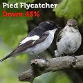 Pied Flycatcher 43.jpg