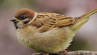 SBS-Tree-Sparrow.jpg