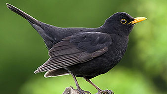 SBS-Blackbird-FF.jpg