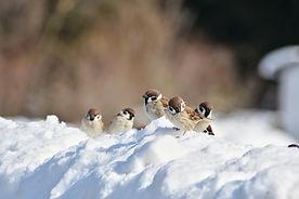 cold snow tree sparrows.jpg