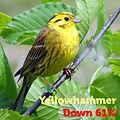 Yellowhammer 61.jpg