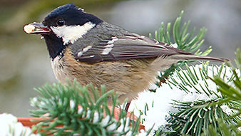 SBS-Coal-Tit.jpg