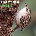 Treecreeper 13.jpg