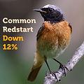 Common Redstart 12.jpg