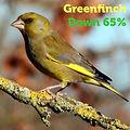 Greenfinch 65.jpg