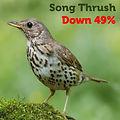 Song Thrush 49.jpg