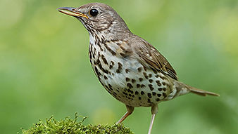 SBS-Song-Thrush-FF.jpg