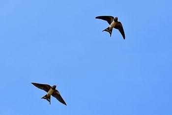 swallows-3850033_1920.jpg