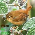 Wren 109.jpg