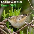 Sedge Warbler 39.jpg