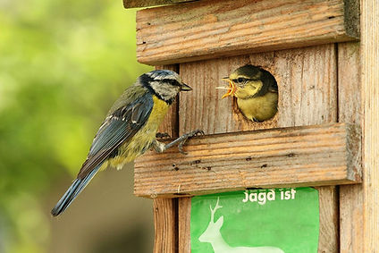 blue tit feeding nestbox free wikipics.j