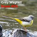 grey wagtail 45.jpg