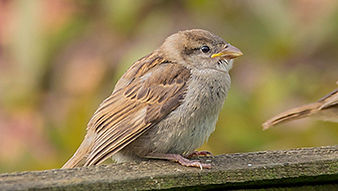 SBS-House-Sparrow-FF.jpg