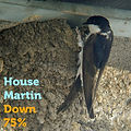 House Martin 75.jpg