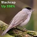 Blackcap 338.jpg