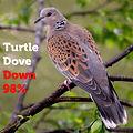 Turtle Dove 98.jpg
