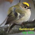 Goldcrest 52.jpg