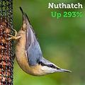 Nuthatch 293.jpg