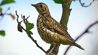 SBS-Mistle-Thrush-FF.jpg