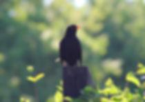 blackbird on fence.jpg