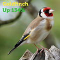 Goldfinch 134.jpg