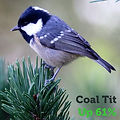 Coal Tit 61.jpg