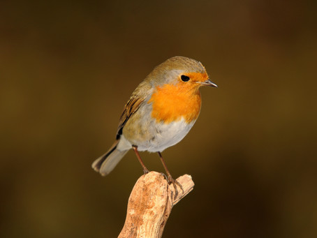 National Robin Day is here!