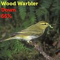 wood warbler 66.jpg