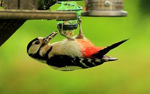 Great Spotted Woodpecker (2).jpg