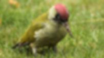 SBS-Green-Woodpecker-FF.jpg