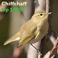 Chiffchaff 105.jpg