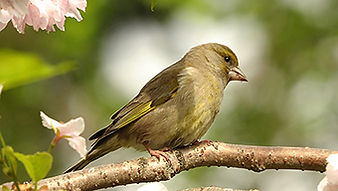 SBS-Greenfinch-FF.jpg