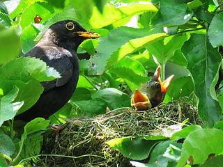 Blackbird with nest.jpg