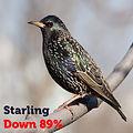 Starling 89.jpg