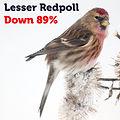 Lesser Redpoll 89.jpg