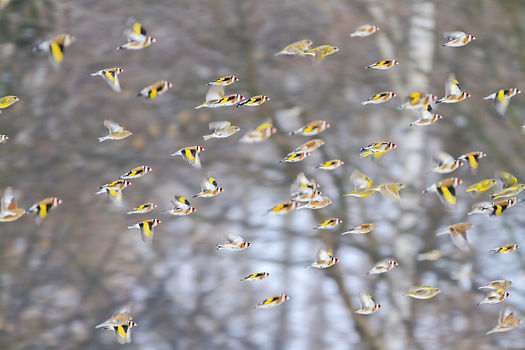 Charm of Goldfinches .jpg