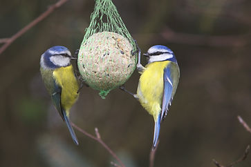 blue tits on plastic wrapped net fatball
